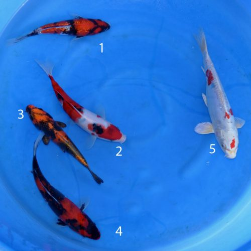 Bowl 1 Ginrin Showa, Sanke, Kinki Utsuri, Showa, Kikusui