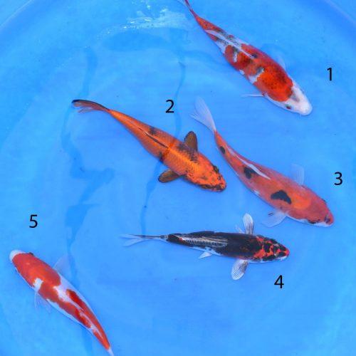 Koi Bowl13: Goshiki, Kinki Utsuri, Sanke, Beni Kikokuriyu, Kohaku