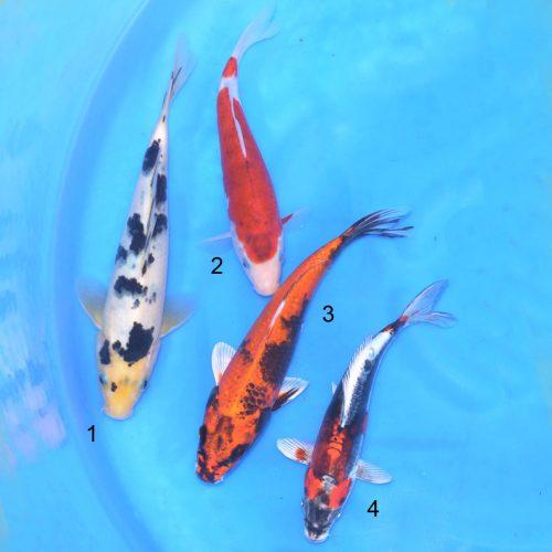 Koi Bowl 2 Shiro Bekko, Ai Goromo, Kinki Utsuri, Beni Kikokuriyu