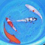 Koi Bowl31 Ginrin Benigoi, Ginrin Shiro Utsuri, Kohaku
