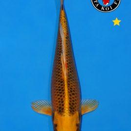Kin Matsuba ca. 20-25cm #050119-25 B2