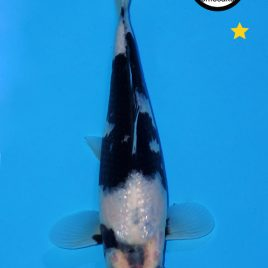 Shiro Utsuri ca. 20-25cm #050119-13 B2