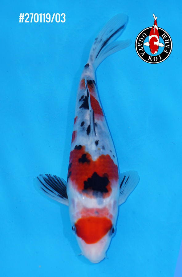 Maruten Sanke 270119-03 male 20-25cm 150€